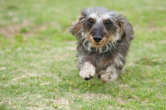 ミニチュア・ダックスフンドは、アナグマの巣穴に潜り込んで狩立て、巣穴から出てきたアナグマに向かって吠えながら、ハンターの射程圏内に追い込むという仕事で活躍してきた勇敢な犬です