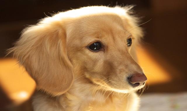 ミニチュア・ダックスフンドの性格、健康と美、病気、食事をまとめて知って、愛犬ライフを楽しみましょう!