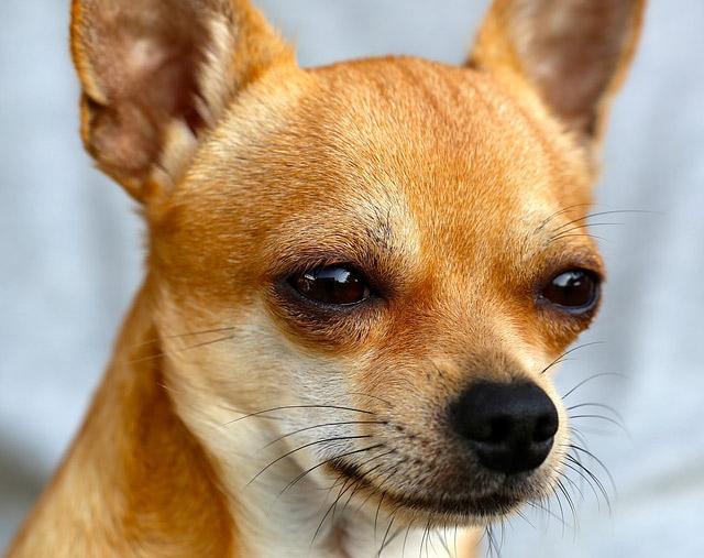 記事 あなたの愛犬の目の下の汚れ、「涙やけ」かも。