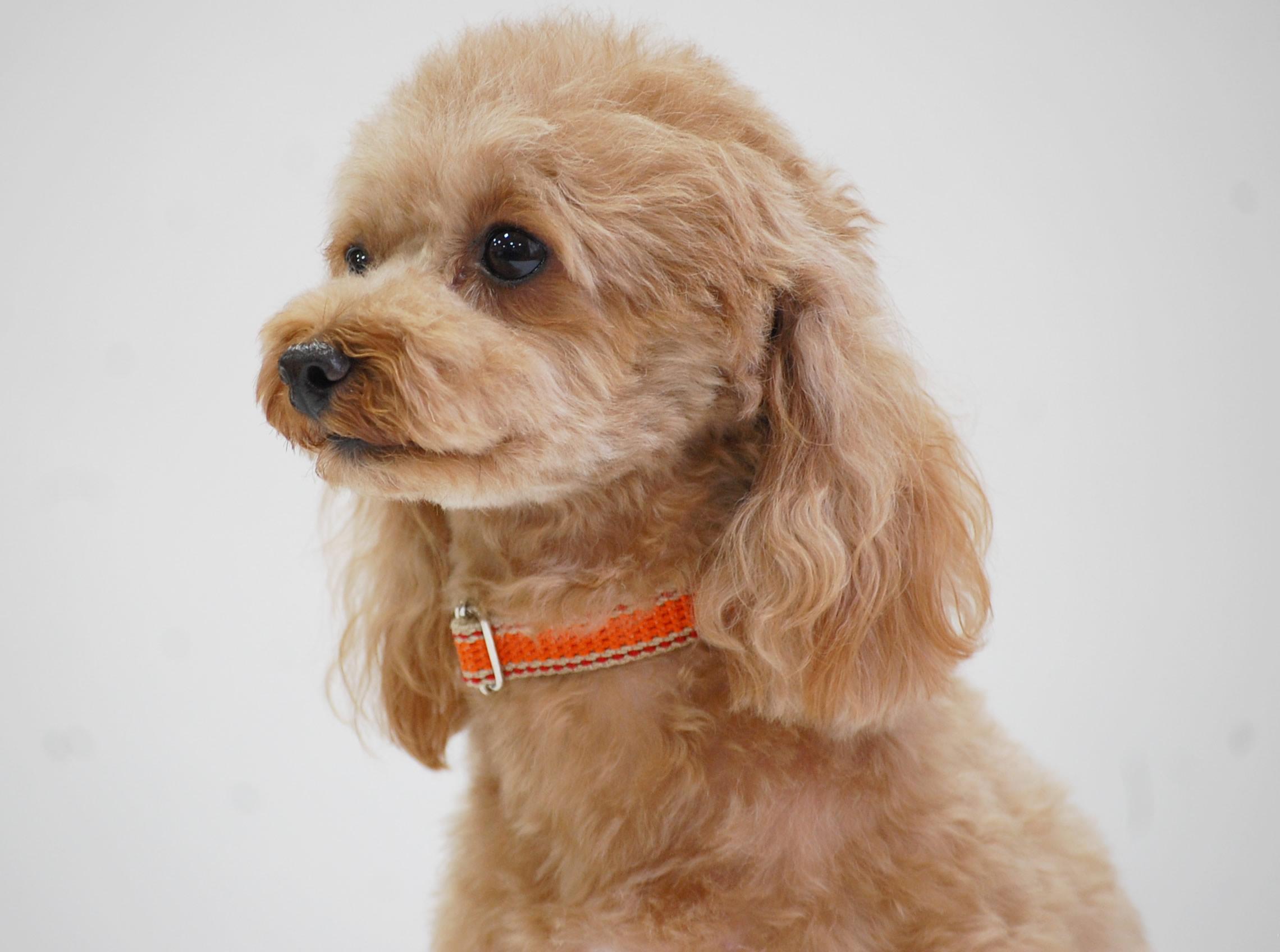 人気犬種ランキング1位のトイプードル