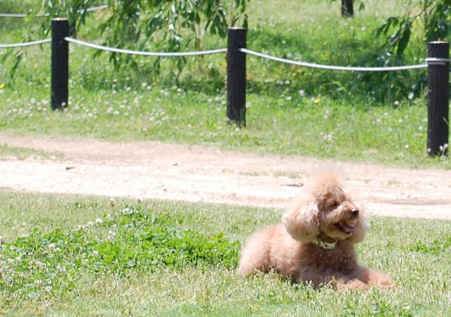 芝生で寝転ぶトイプードル
