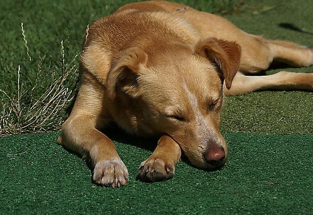 犬寝ている