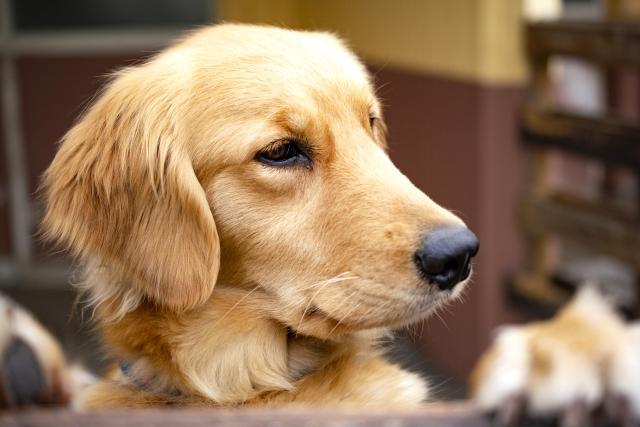 大型犬のシニア期の食事で気をつけること