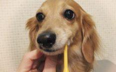犬の歯磨き