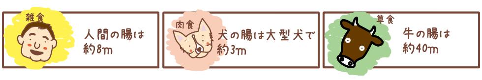 人間の腸は約8m、犬の腸は大型犬で約3m、牛の腸は約40m