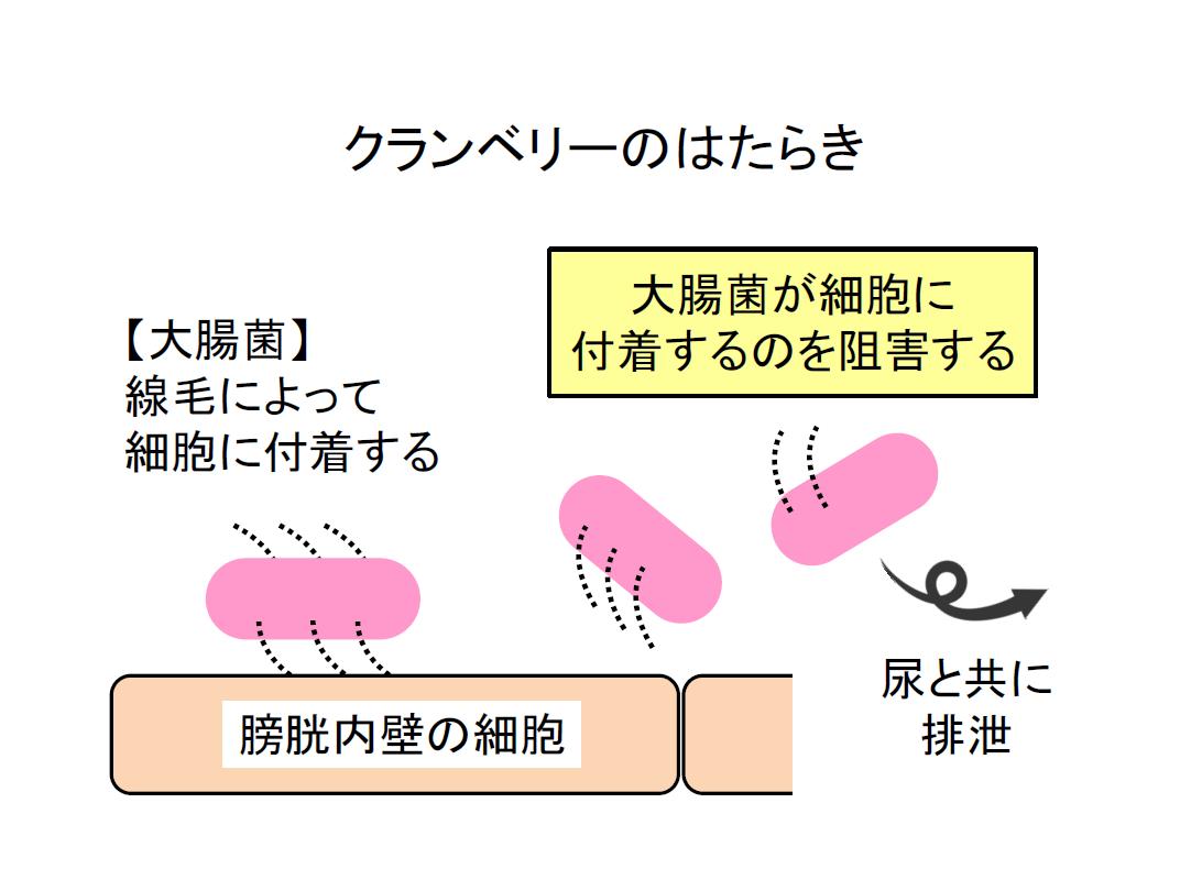 クランベリーには尿路細胞への細菌の付着抑制作用があるということです。