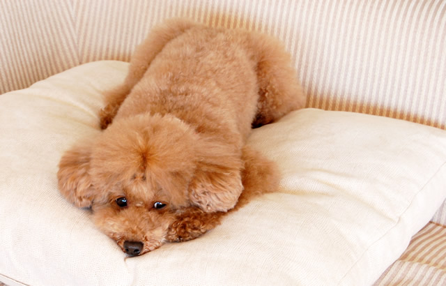 睡眠やリラックス状態の犬は副交感神経が優位に働く