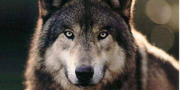 犬の祖先狼